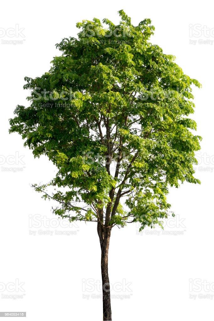 Big tree isolated. - Royalty-free Abstract Stock Photo
