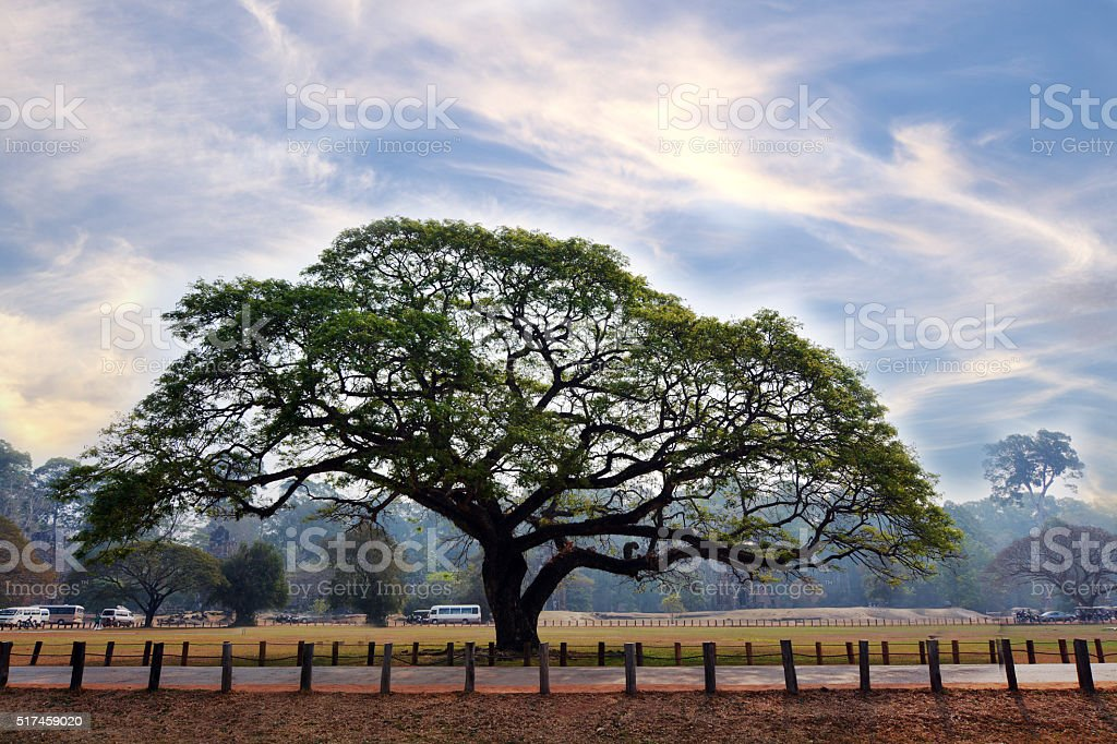 big tree on asian landscape with blue sky behind fence stock photo
