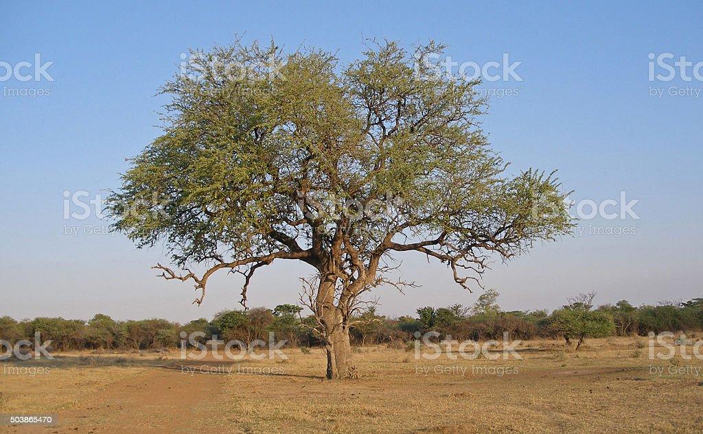 Big tree on barren bushfeld farm stock photo