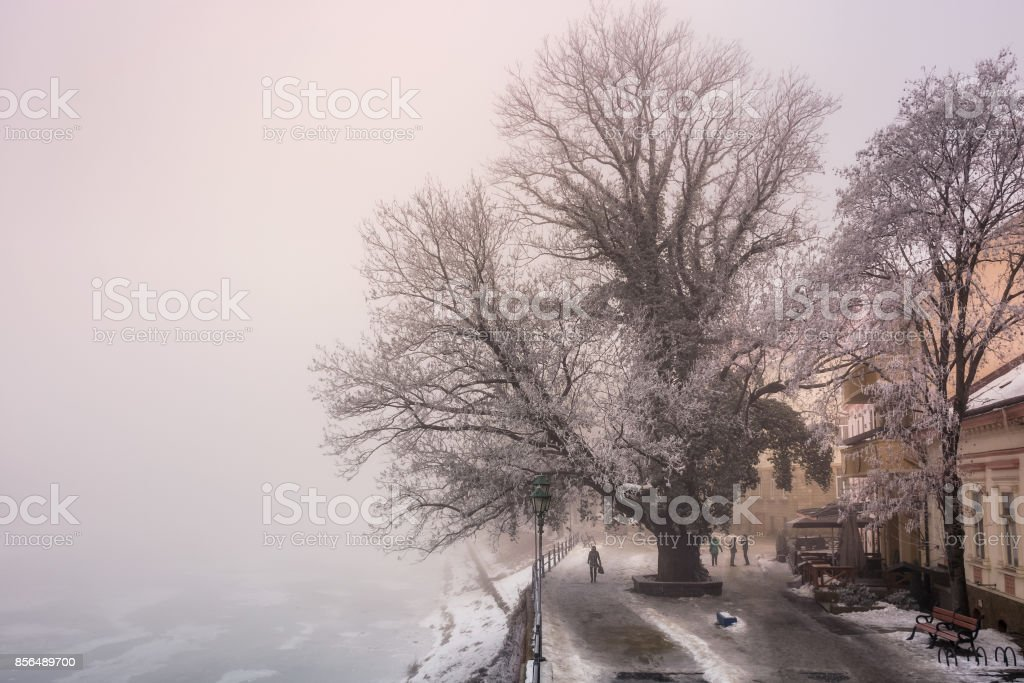 big tree on embankment in fog and hoarfrost stock photo