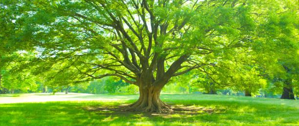 big tree - лесистая местность стоковые фото и изображения