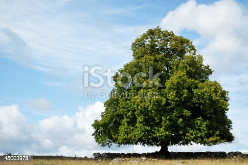 A big tree alone, in a meadow