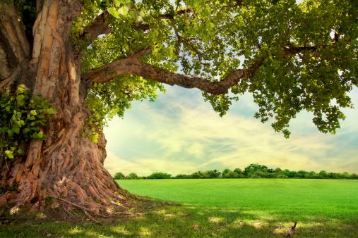 Big Tree 照片檔及更多 一個物體 照片