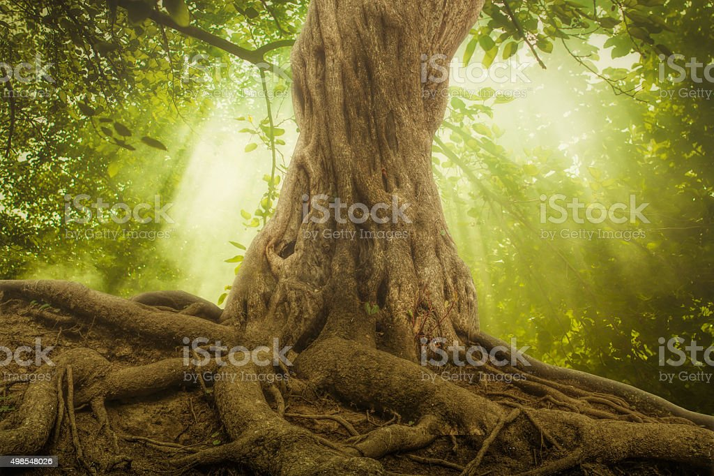 big tree roots and sunbeam in a green forest stock photo