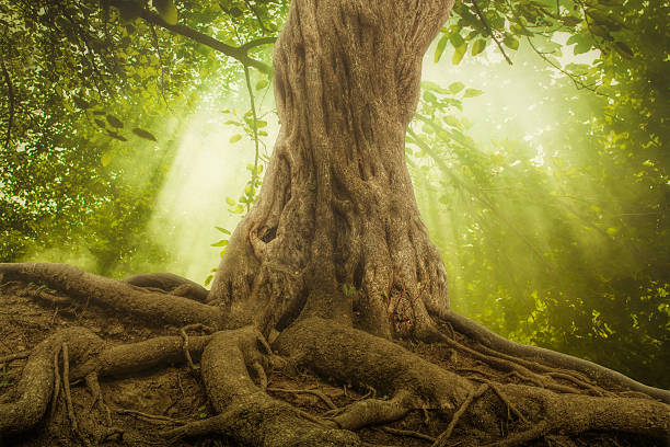 big tree roots and sunbeam in a green forest - tree roots stock pictures, royalty-free photos & images