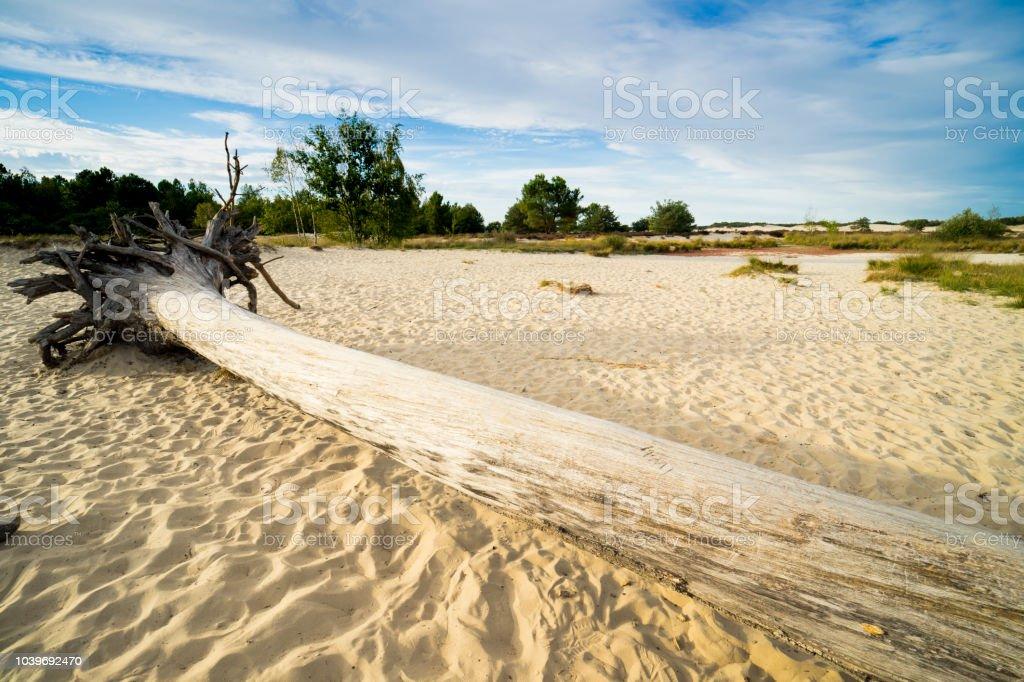 Big boomstam in het zand van het nationaal park Loonse en Drunense Duinen, Nederland foto