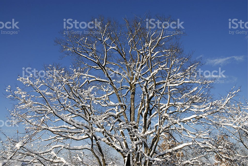big tree with snow royalty-free stock photo