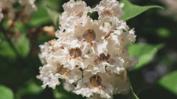 Big tree with white flowers. Flowers catalpa or catawba. East Asia and North America flowering plants. stock photo