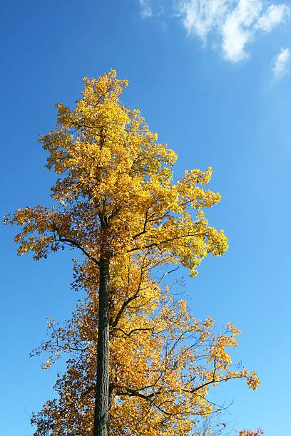 Big tree with yellow leaves against blue sky stock photo