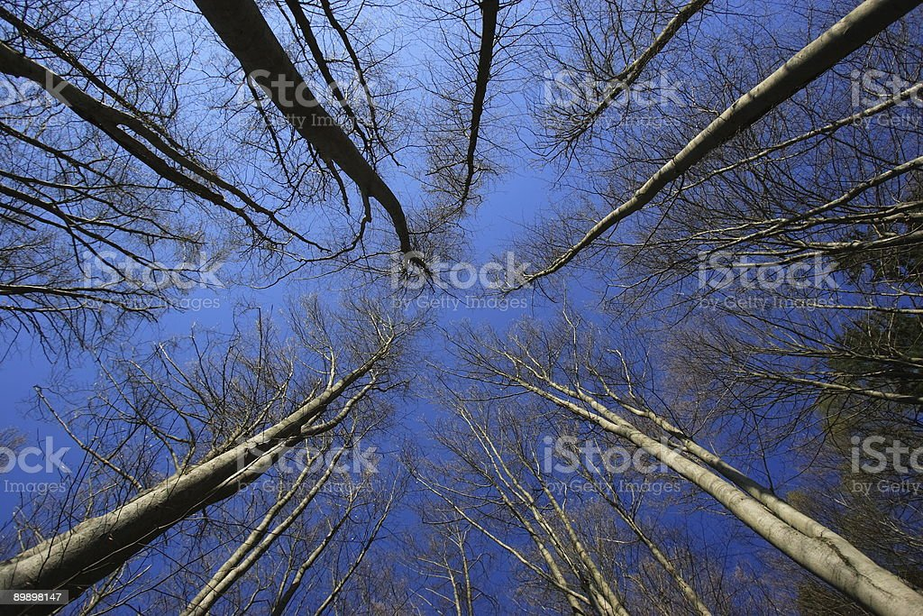 Big trees against Blue Sky royalty-free stock photo