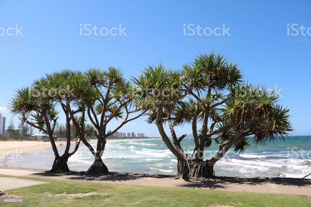 Big trees of Pandanus Pedunculatus at Sunshine Coast, Queensland Australia stock photo