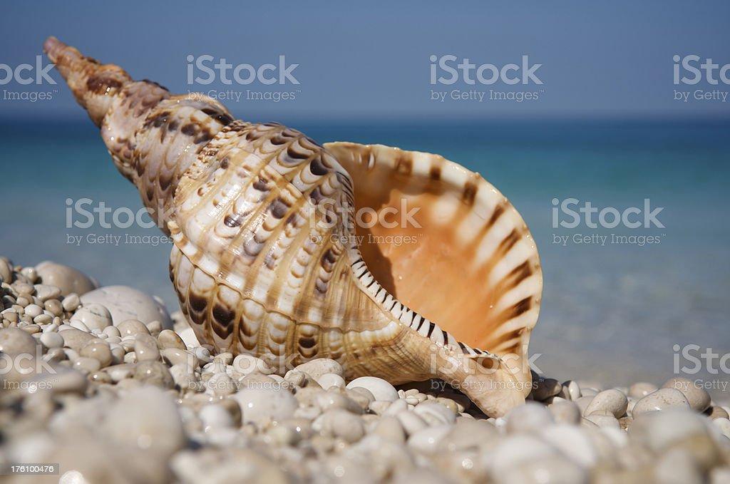 Big Triton Seashell on Rocky Beach stock photo