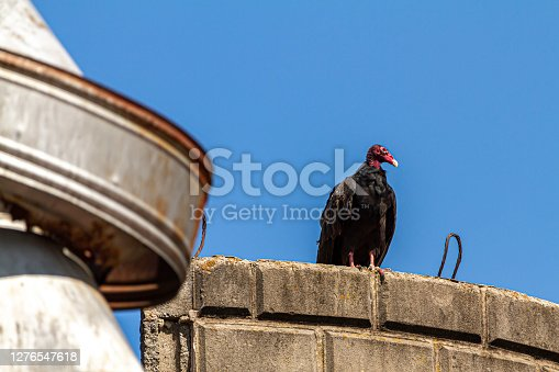 A big Turkey Vulture (Cathartes aura) is perching on the roof of a silo made of stone bricks at an abandoned farmhouse. There are rusty metal elements near where it perched.