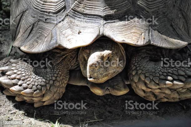 Big turtle closeup on the earth animal protection picture id1202450993?b=1&k=6&m=1202450993&s=612x612&h=v4jttx4tpi3cgkdw04b1sgmd03uclsqslmulxrzkdn0=