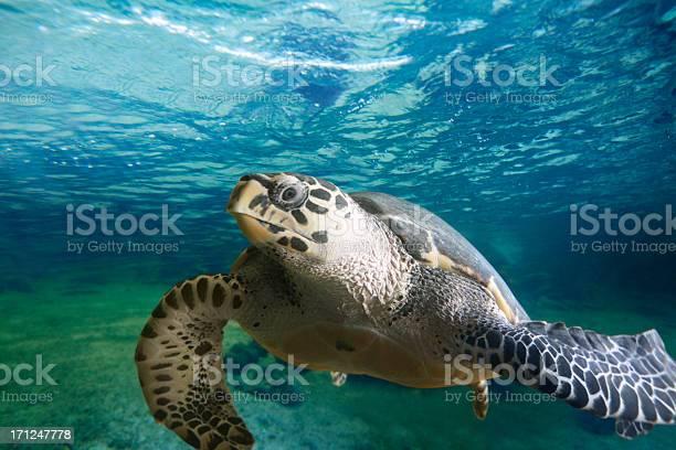 Big turtle floating in the sea picture id171247778?b=1&k=6&m=171247778&s=612x612&h=0zu0zqfea 064 zz66g xkdnzrcqjbpmi2enecc8r7g=
