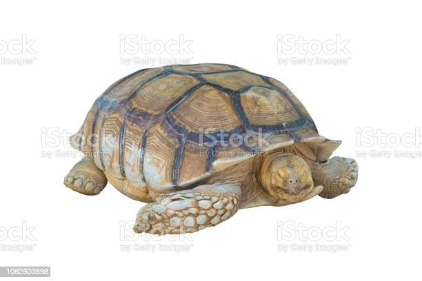 Big turtle isolated on white background clipping path picture id1082603898?b=1&k=6&m=1082603898&s=612x612&h=rsgacl859nwcb7a9yl2zjlogfi1yuz9ji0vnmpi 6s8=