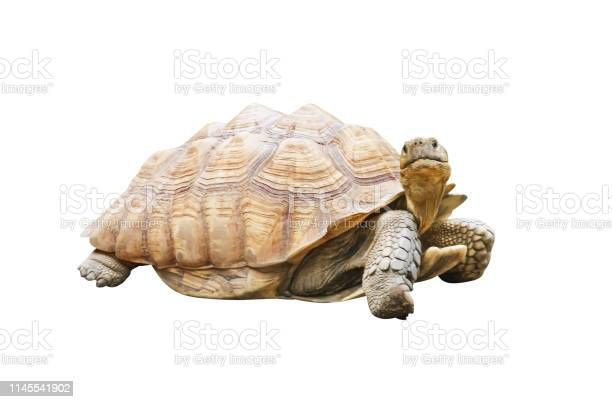 Big turtle isolated on white background with clipping path picture id1145541902?b=1&k=6&m=1145541902&s=612x612&h=gain29emv6ixonghftoifz0t33q7sb2jo7ik4inomn0=
