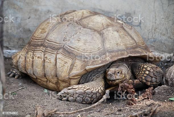 Big turtle on the ground picture id613254802?b=1&k=6&m=613254802&s=612x612&h=gayugqod1uwhhlifwzkiferhggednikbslw4hz5mrfa=