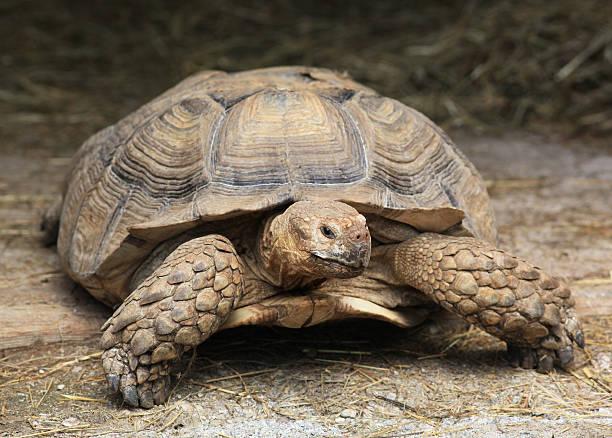 große turtle - leitner stock-fotos und bilder