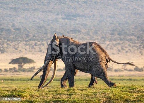 Famous Big Tusker elephant named Tim in musk running in Amboseli, Kenya Africa