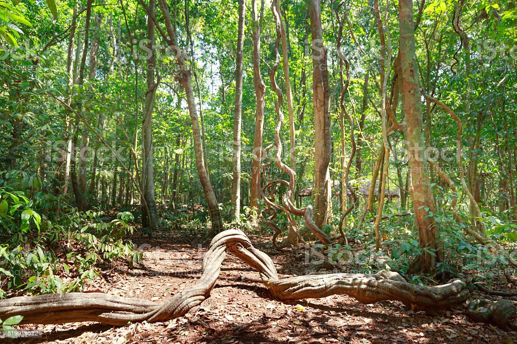 Big twisted tropical tree roots in rain forest stock photo