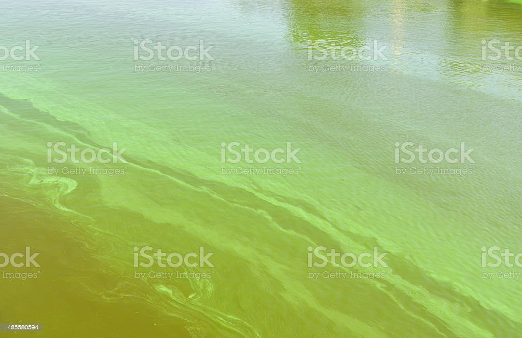 Big Ukrainian river Dnepr covered by Cyanobacterias​​​ foto