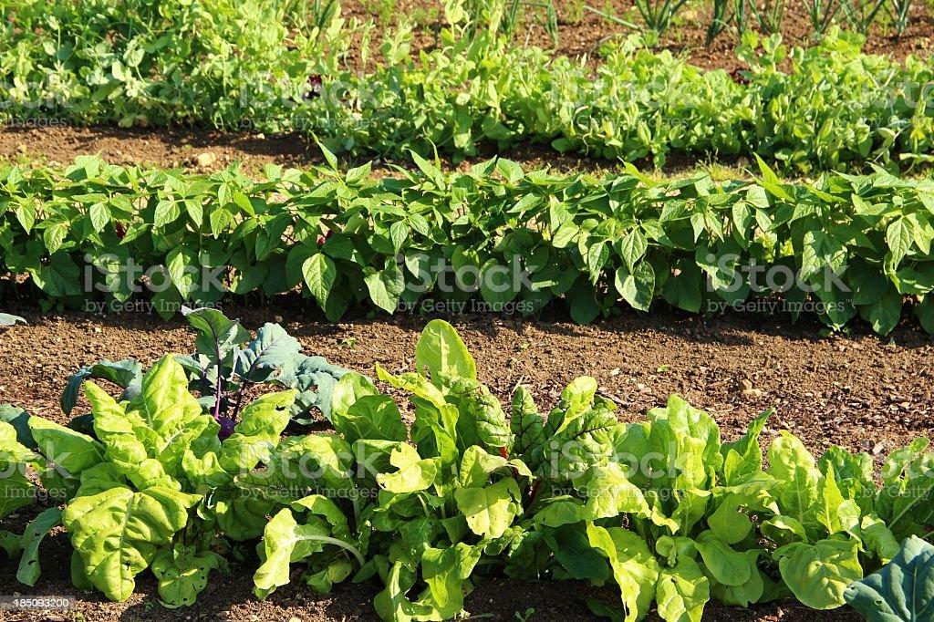 Big vegetable garden stock photo