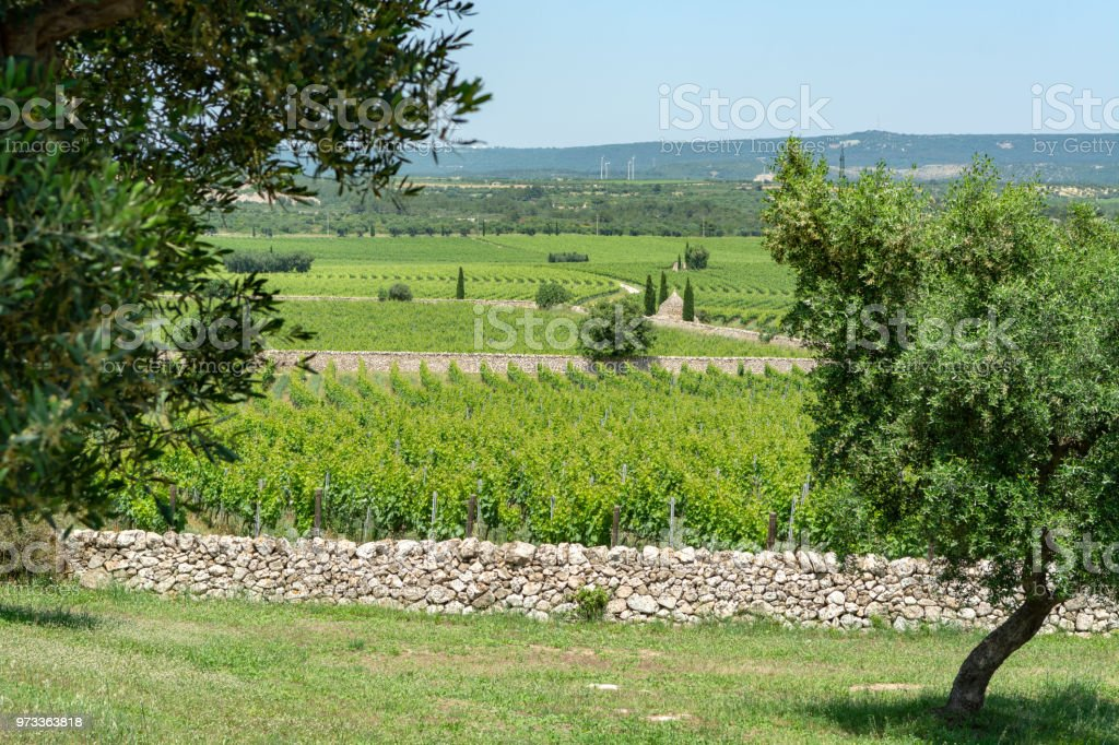 Big vineyards with rows of wine grapes plants in great wine region of South Italy Apulia - foto stock