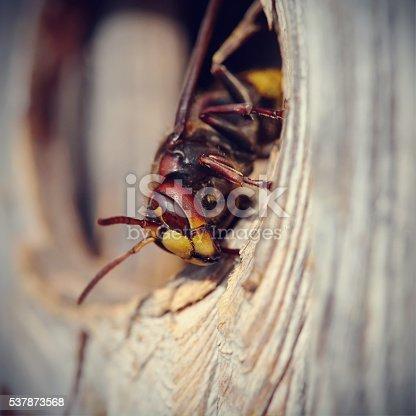972704120istockphoto Big wasp - hornet 537873568