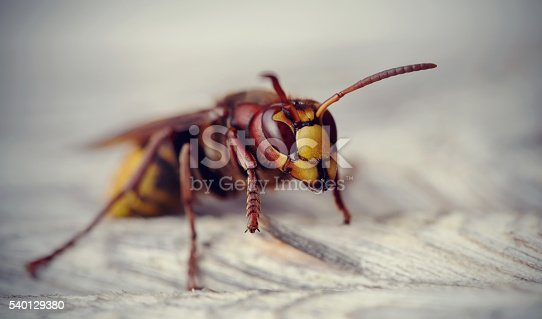 972704120 istock photo Big wasp - the hornet 540129380