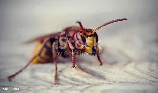 972704120istockphoto Big wasp - the hornet 540129380