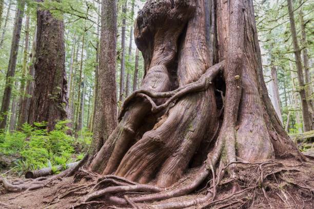 Big Western Red Cedar Tree Trunk Avatar Groove Forest Port Renfrew Vancouver Island BC Canada stock photo