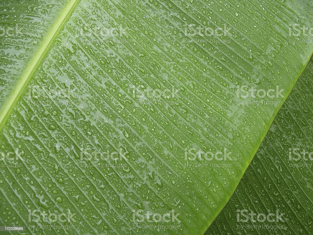 big wet leaves royalty-free stock photo