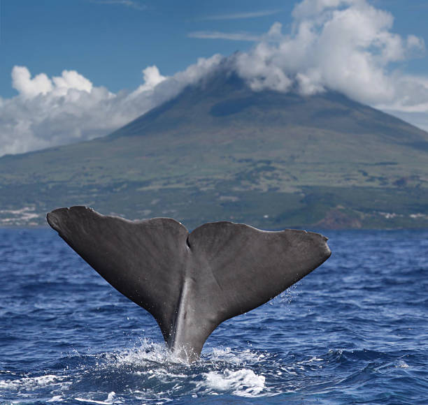 Big whale fin in front of volcano Pico, Azores islands Sperm whale starts a deep dive in front of volcano Pico, Azores islands cetacea stock pictures, royalty-free photos & images