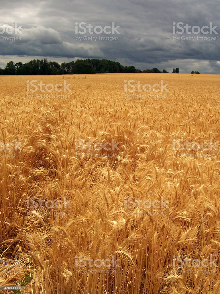 Big Wheat Field with Dark Storm Clouds royalty-free stock photo