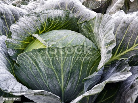 Fresh cabbage is ready to harvest. Organic farming. Homegrown produce. Healthy eating concept