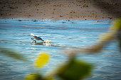 Big white egret walking finding fish in shoe sea