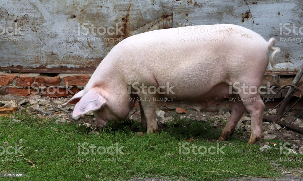 Big white pig digging the ground in the barnyard stock photo