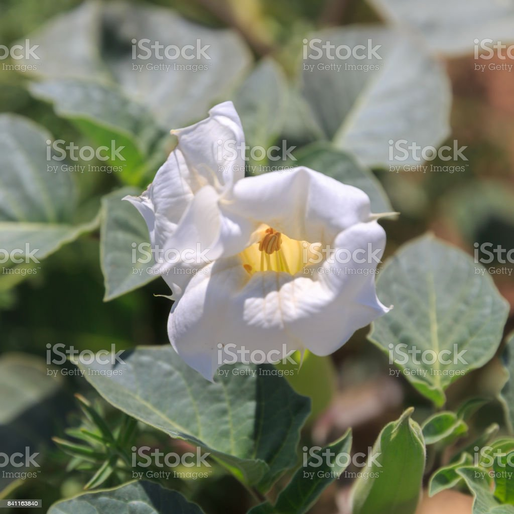 Big White Poisonous Datura Flower Stock Photo More Pictures Of