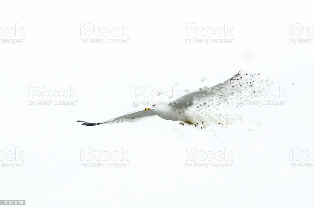 Big white seagull flying solo alone disappearing stock photo
