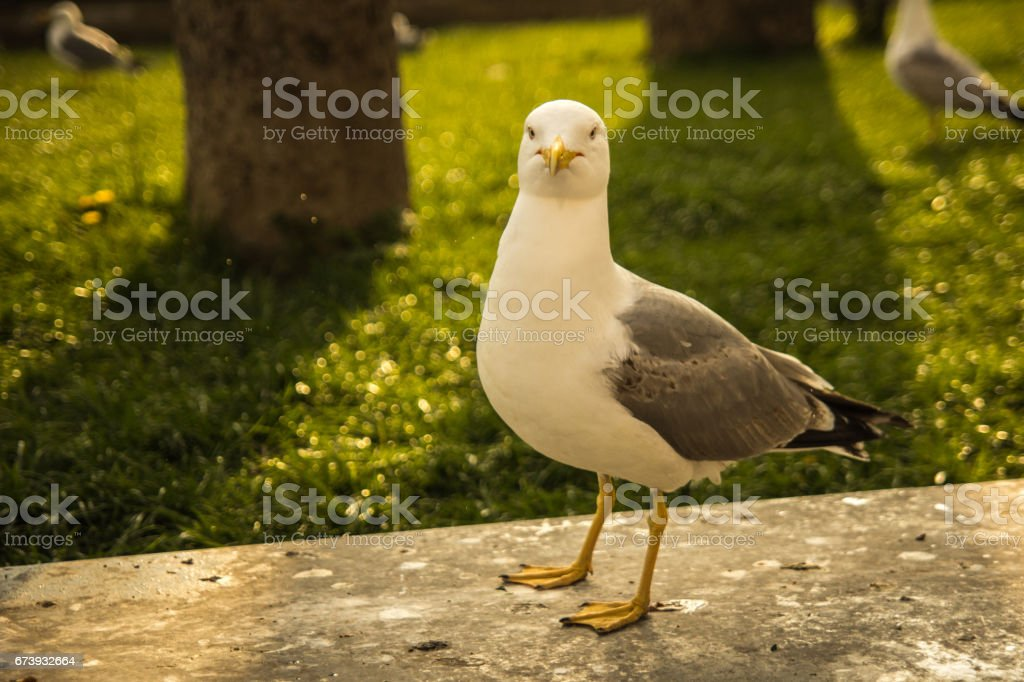 big white seagull - glarus bird stock photo