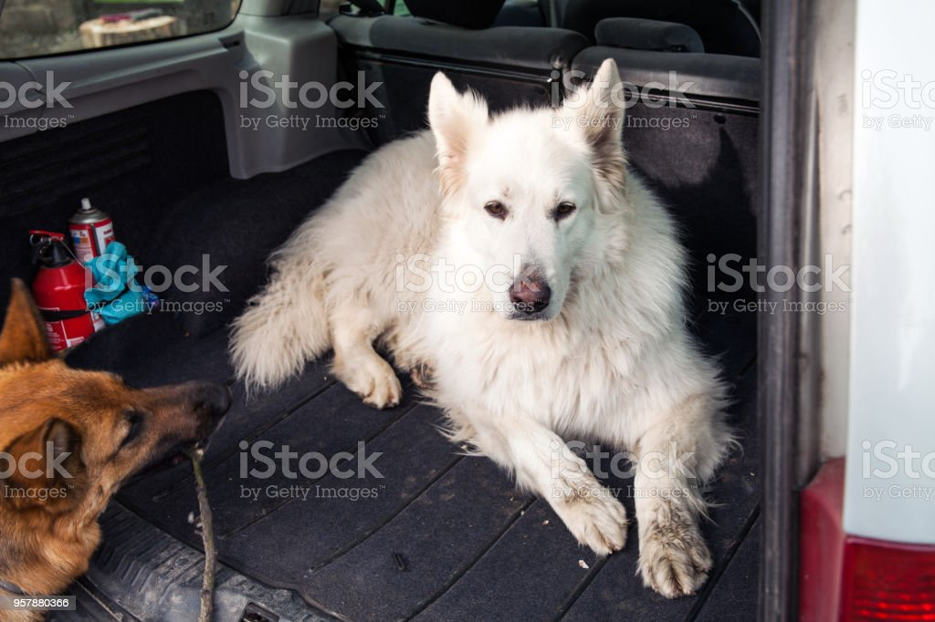 Big white Swiss Shepherd in the car. Carrying dog in the car. Travel with a dog. Car trunk and dog. – zdjęcie