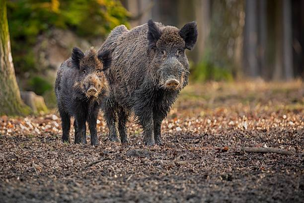 Big wild boar face to face in Czech Republic Wild boar, Sus scrofa, forest wild animal in the nature habitat, portrait of a big wild mammal, face to face, Czech Republic wild boar stock pictures, royalty-free photos & images