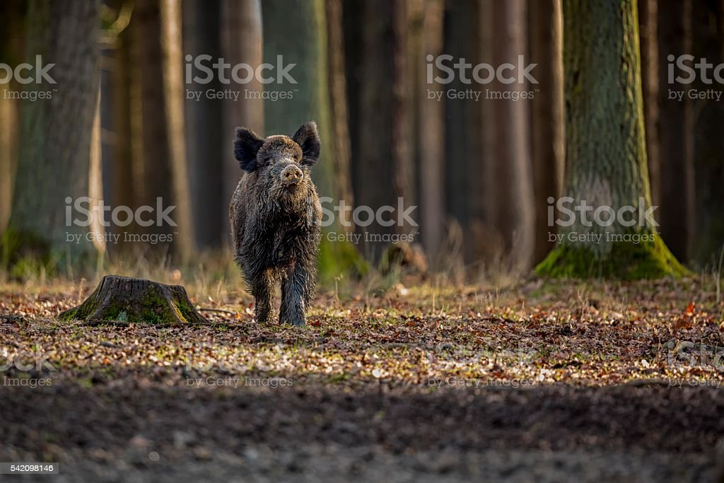 Big wild boar face to face in Czech Republic – Foto