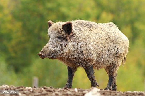big wild boar in a glade ( Sus scrofa ), full length