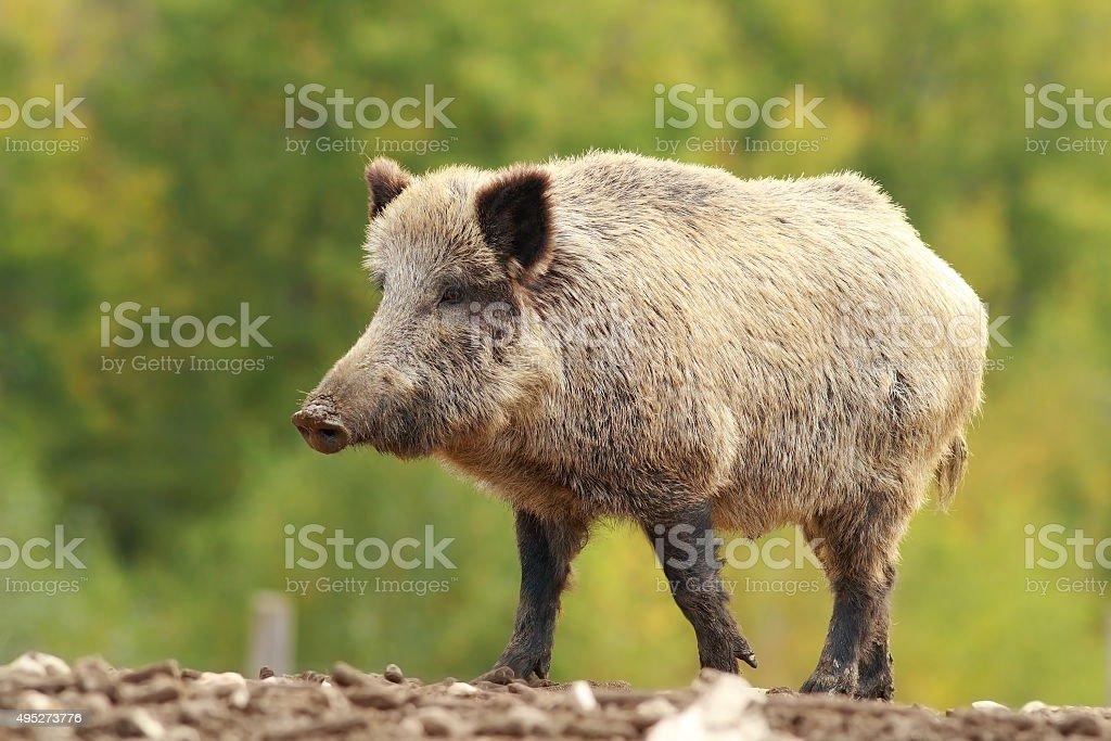 big wild boar in a glade stock photo