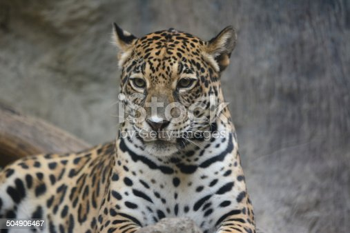 The leopard (Panthera pardus) is a member of the Felidae family with a wide range in some parts of sub-Saharan Africa, West Asia, the Middle East, South and Southeast Asia to Siberia. It is listed as Near Threatened on the IUCN Red List because it is declining in large parts of its range due to habitat loss and fragmentation, and hunting for trade and pest control. It is regionally extinct in Hong Kong, Singapore, Kuwait, Syria, Libya and Tunisia.