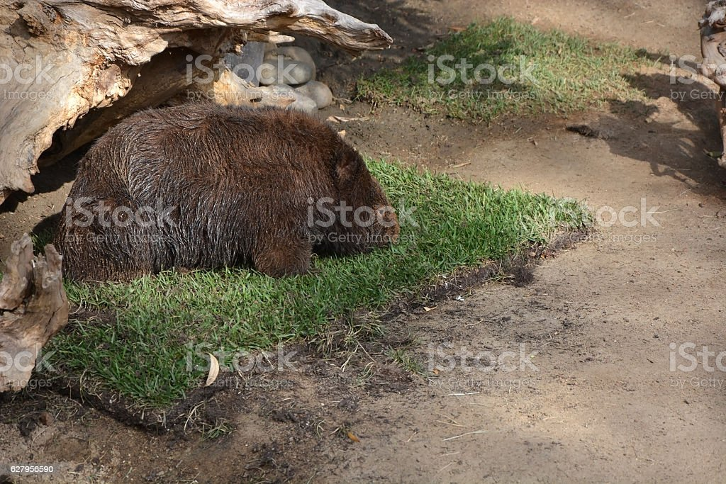 Big Wombat walking at the grass stock photo
