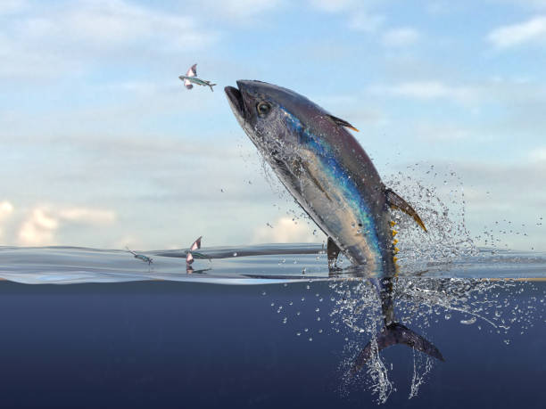 Big yellow fin tuna jumping to catch flying fishes haşf water view 3d Render stock photo