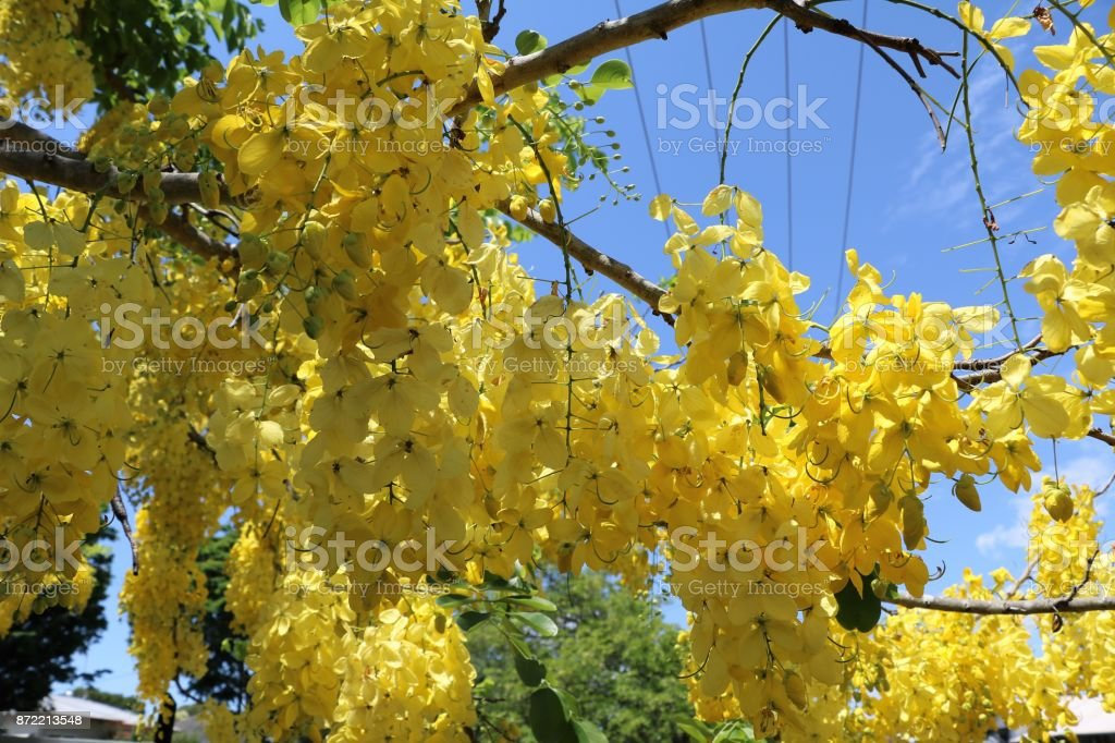 Big yellow flowers of senna fistula in summer australia stock photo big yellow flowers of senna fistula in summer australia royalty free stock photo mightylinksfo